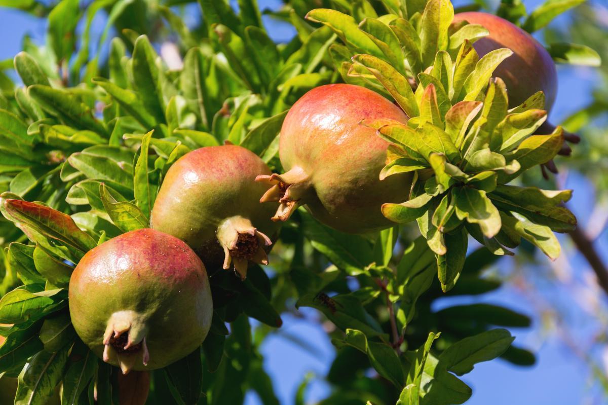 El granado produce frutos en suelos calizos