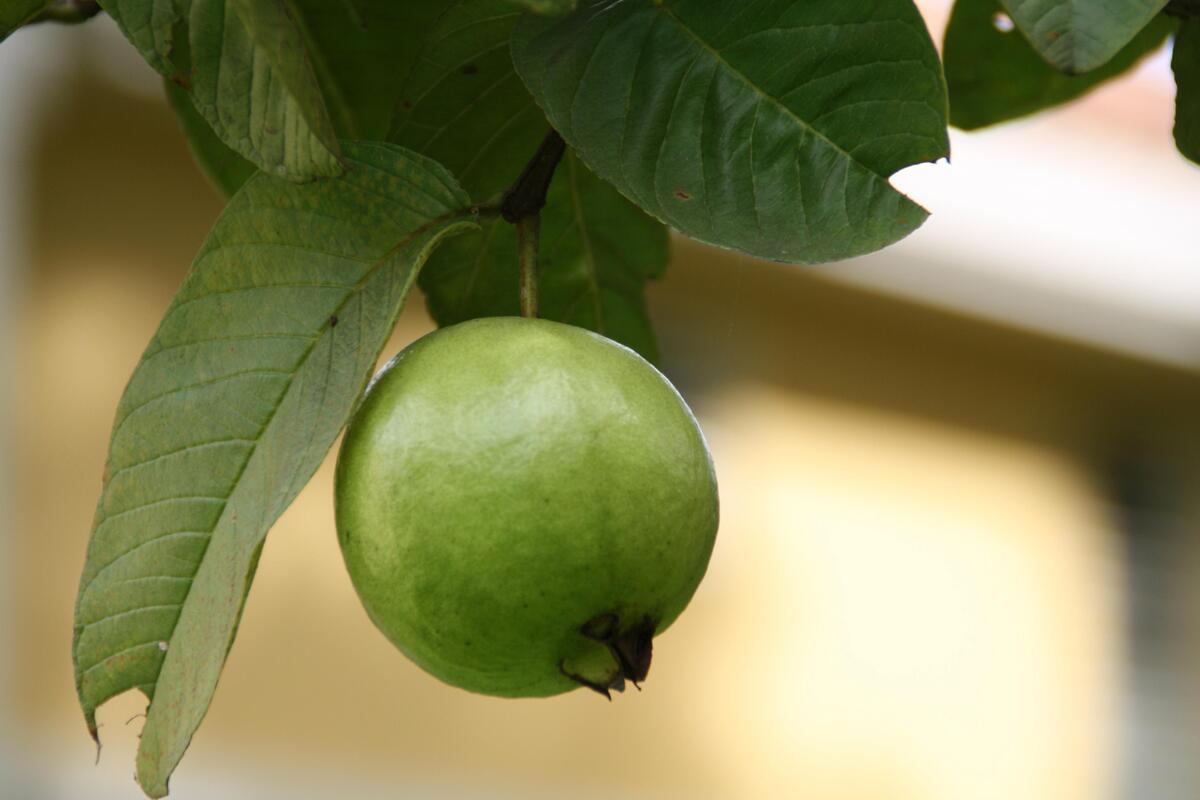 La guayaba es un fruto tipo baya