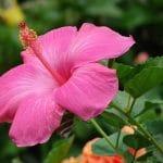 El Hibiscus rosa sinensis florece en primavera
