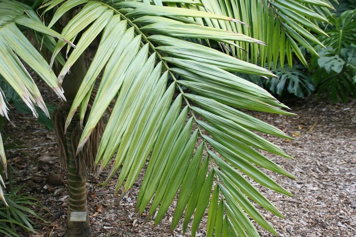 Hay muchas palmeras exóticas ideales para jardín