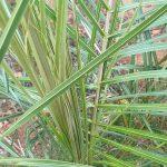 Las hojas de la Parajubaea son pinnadas