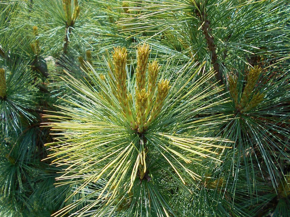 Las hojas del Pinus cembra son aciculares