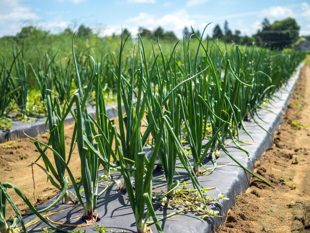 Las hortalizas de raíz se aconseja plantar en el huerto