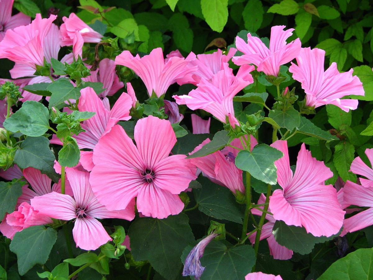 La malva es una hierba que da flores rosas en primavera