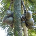 La Lodoicea es una palmera tropical