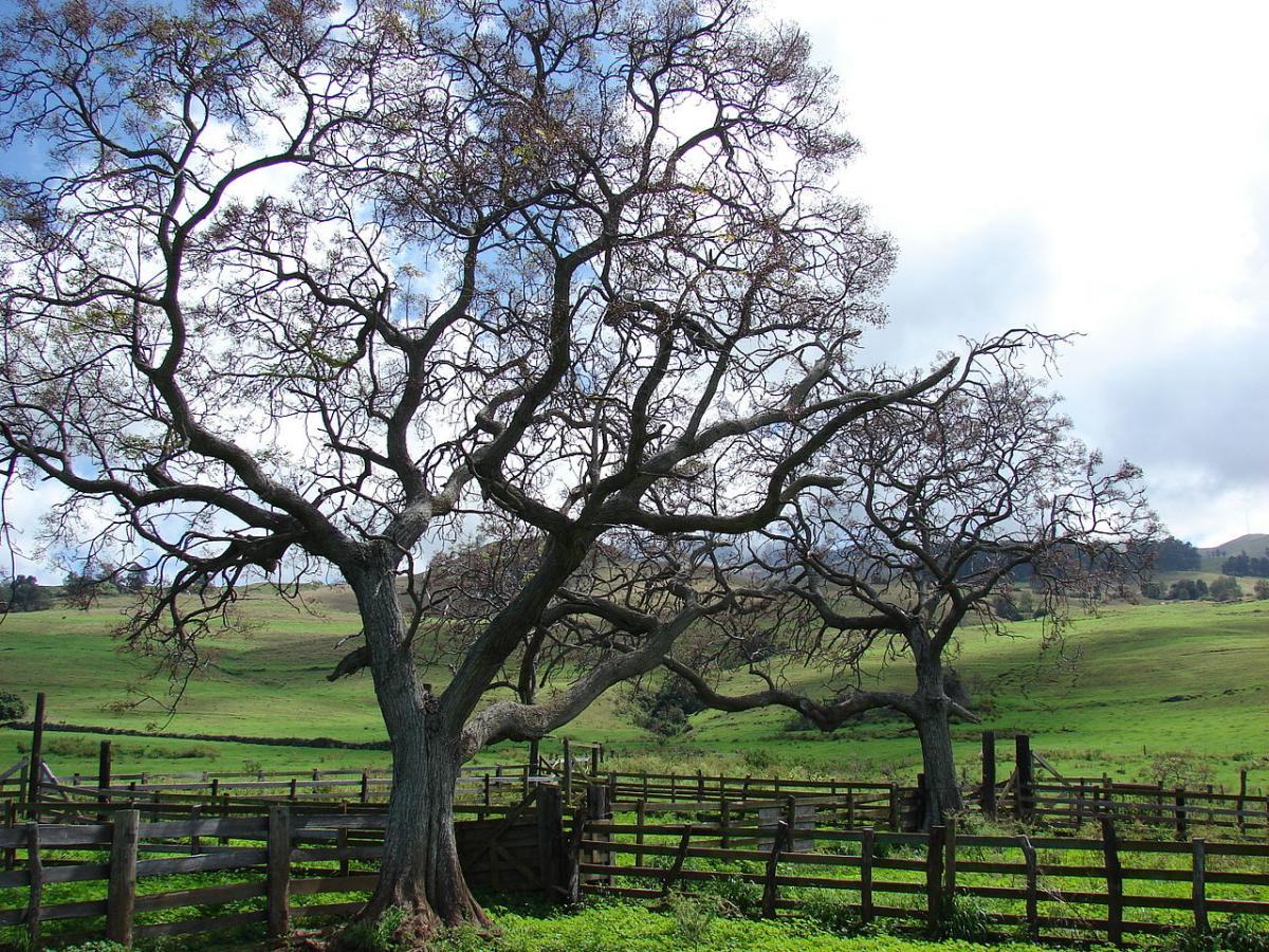 La melia es un árbol con raíces invasivas