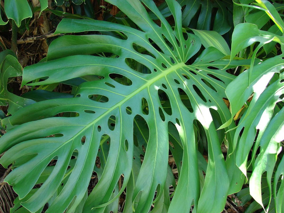 La monstera tiene las hojas grandes