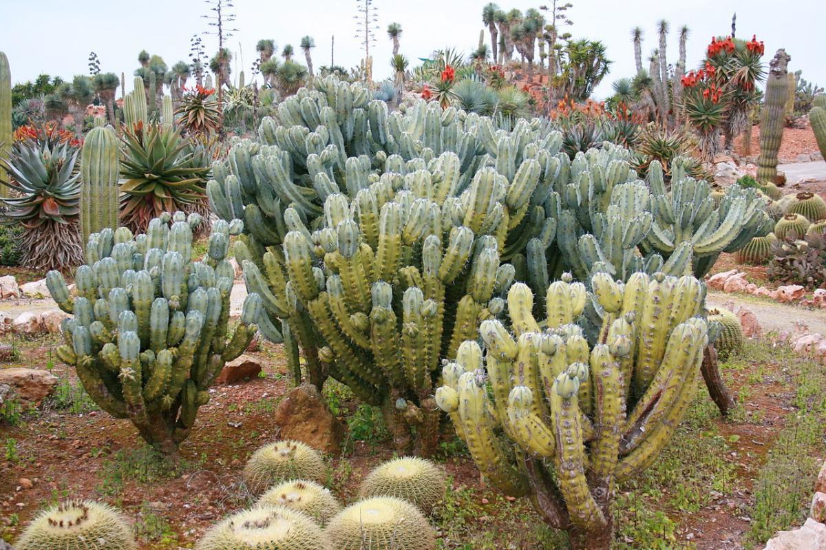 El Myrtillocactus es un cactus que encontramos en el Botanicactus