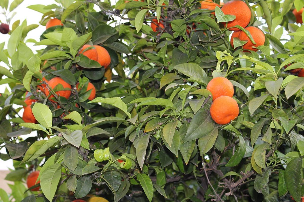 Los naranjos pueden tener fisiopatías