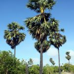 La palmira es una planta tropical