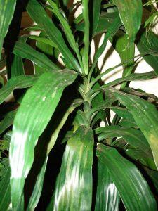 El palo de agua es un arbusto