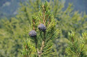 El pino suizo es una conífera que vive en las montañas