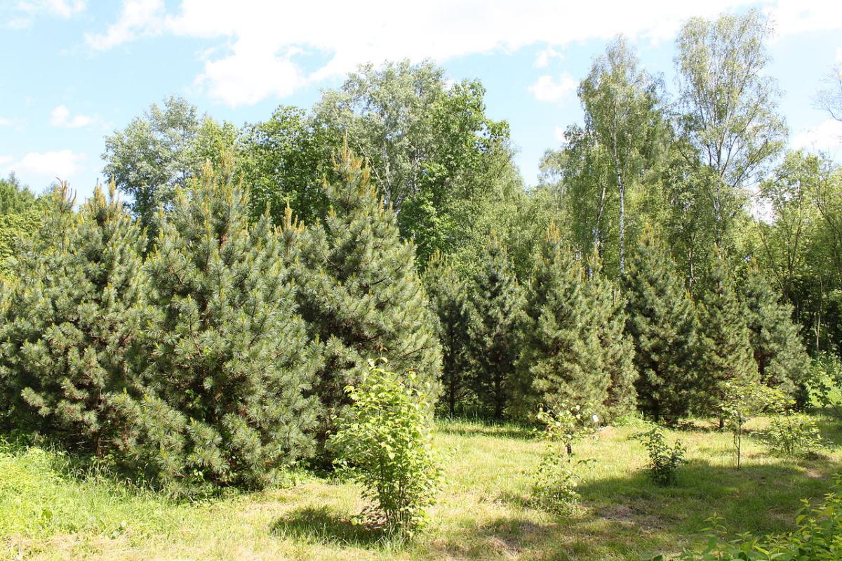 El pino cembro crece en Europa
