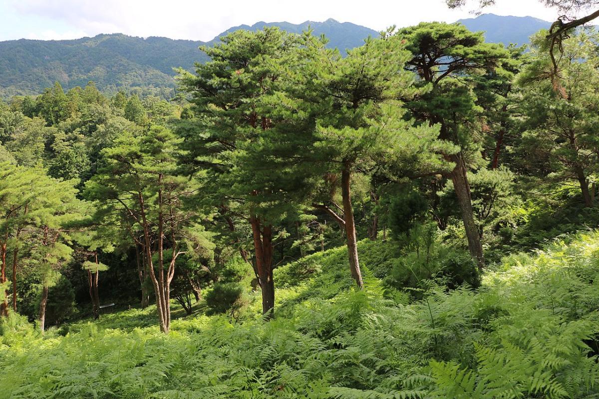 El Pinus densiflora es un árbol de Asia Oriental