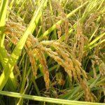 La planta del arroz se cultiva en el suelo
