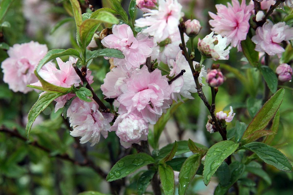 El prunus glandulosa roseo plena es un arbusto