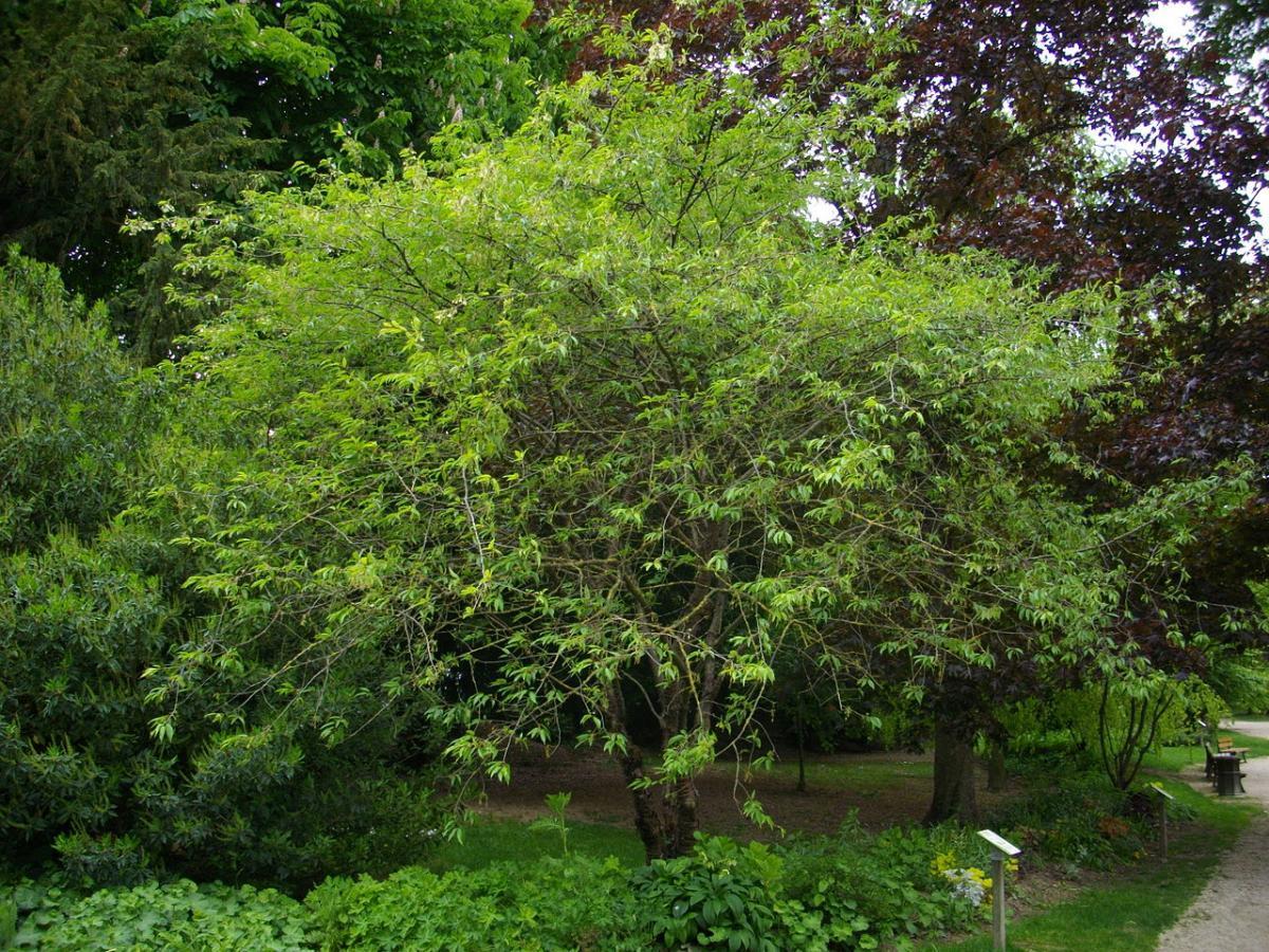 El Prunus serrula aguanta mucho el frío y la nieve