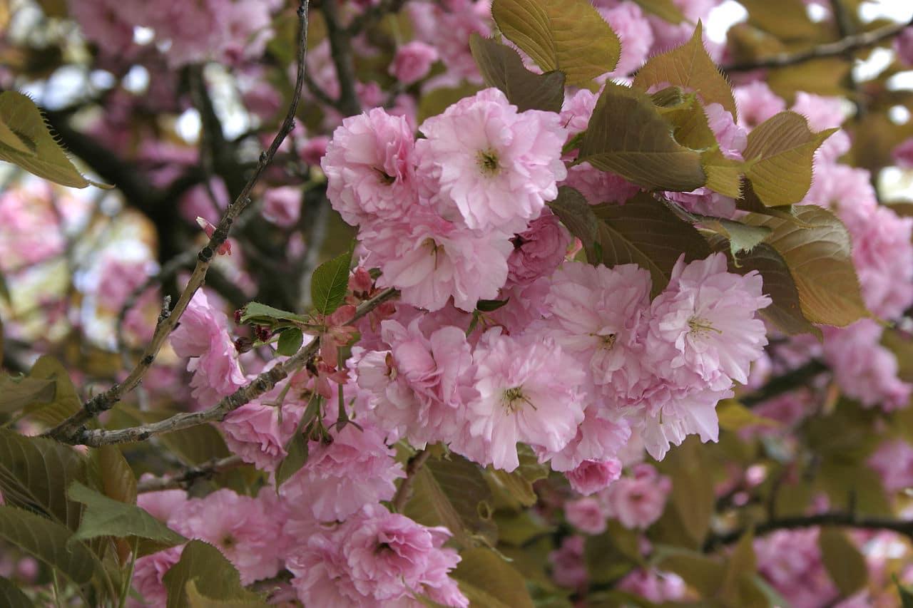 El Prunus serrulata florece en primavera
