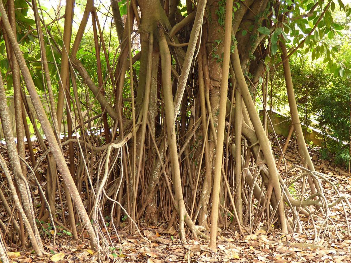 Las raíces de los Ficus son gruesas