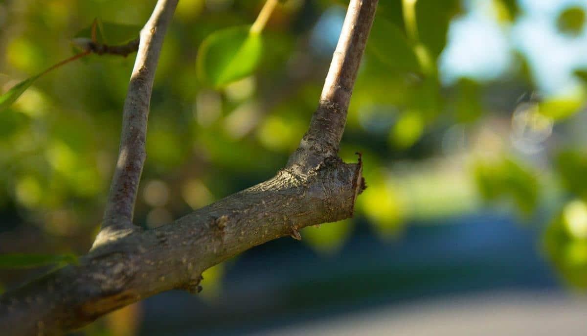 Los árboles se pueden podar para limitar su crecimiento