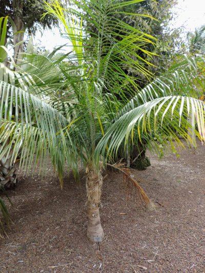 La Ravenea glauca es una palmera exótica