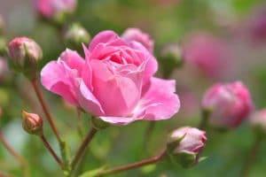 La rosa es una flor muy querida en los jardines