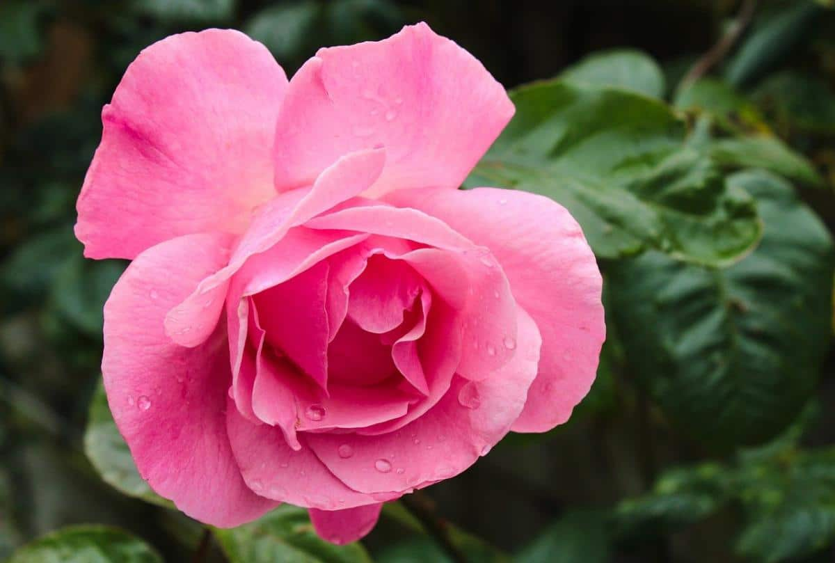 Hay muchas plantas con flores rosas