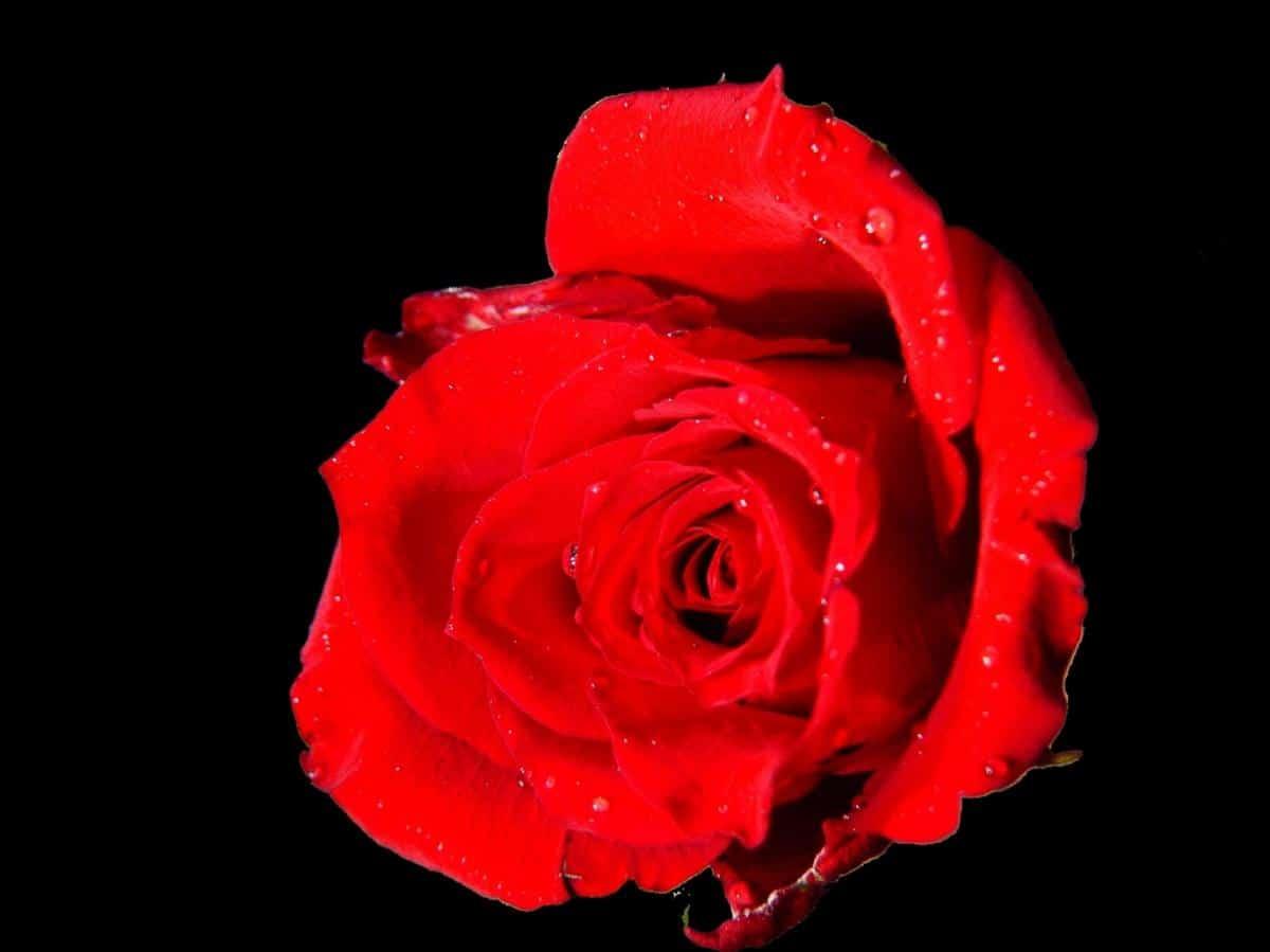 La american beauty es una rosa híbrido