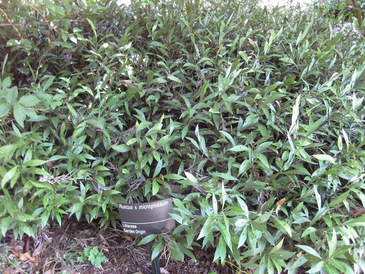 El Ruscus microglossum es un arbusto de porte bajo