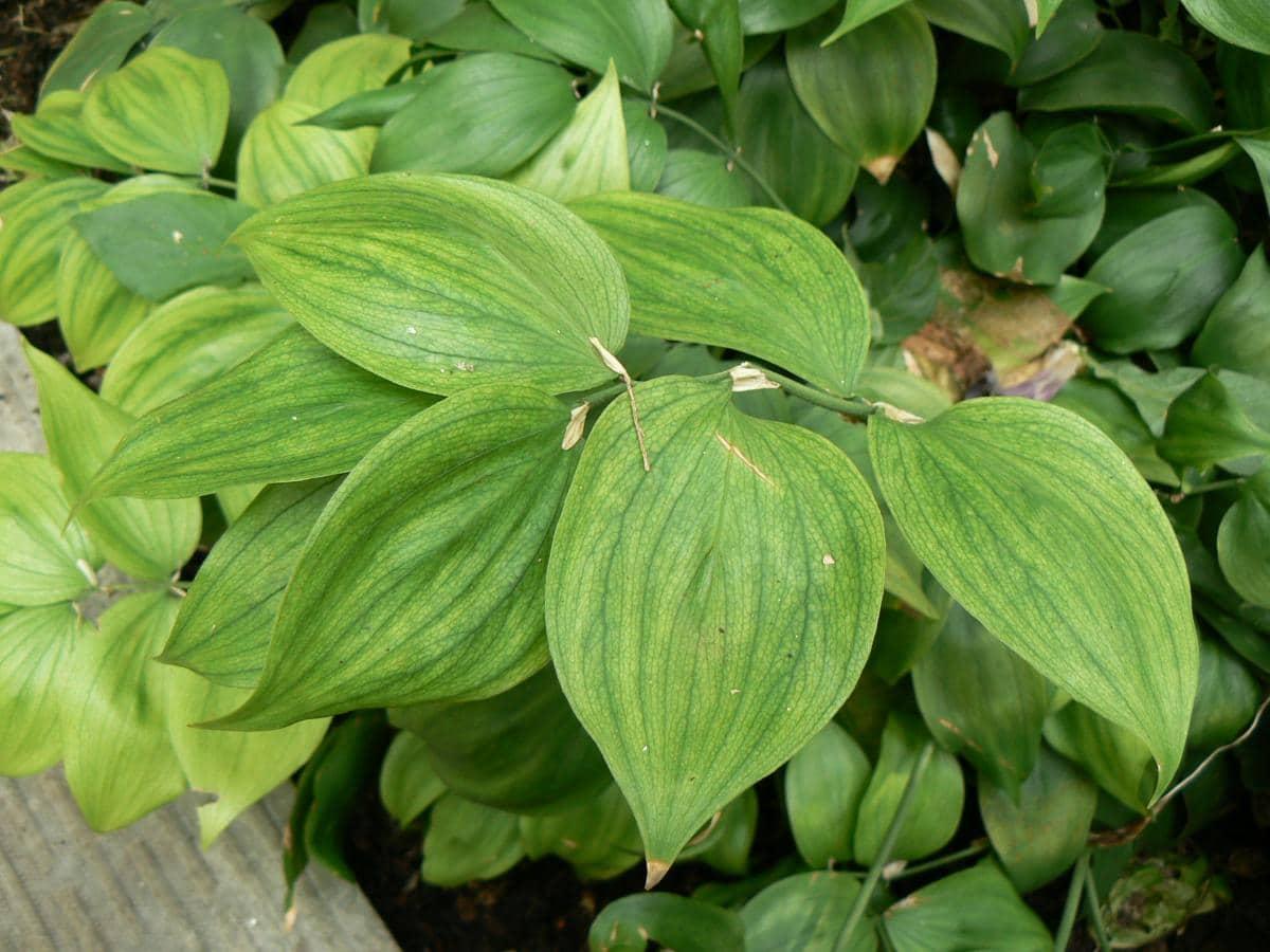 El Ruscus streptophyllus es un arbusto de hojas medianas