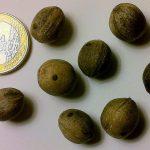 Las semillas de butia son pequeñas