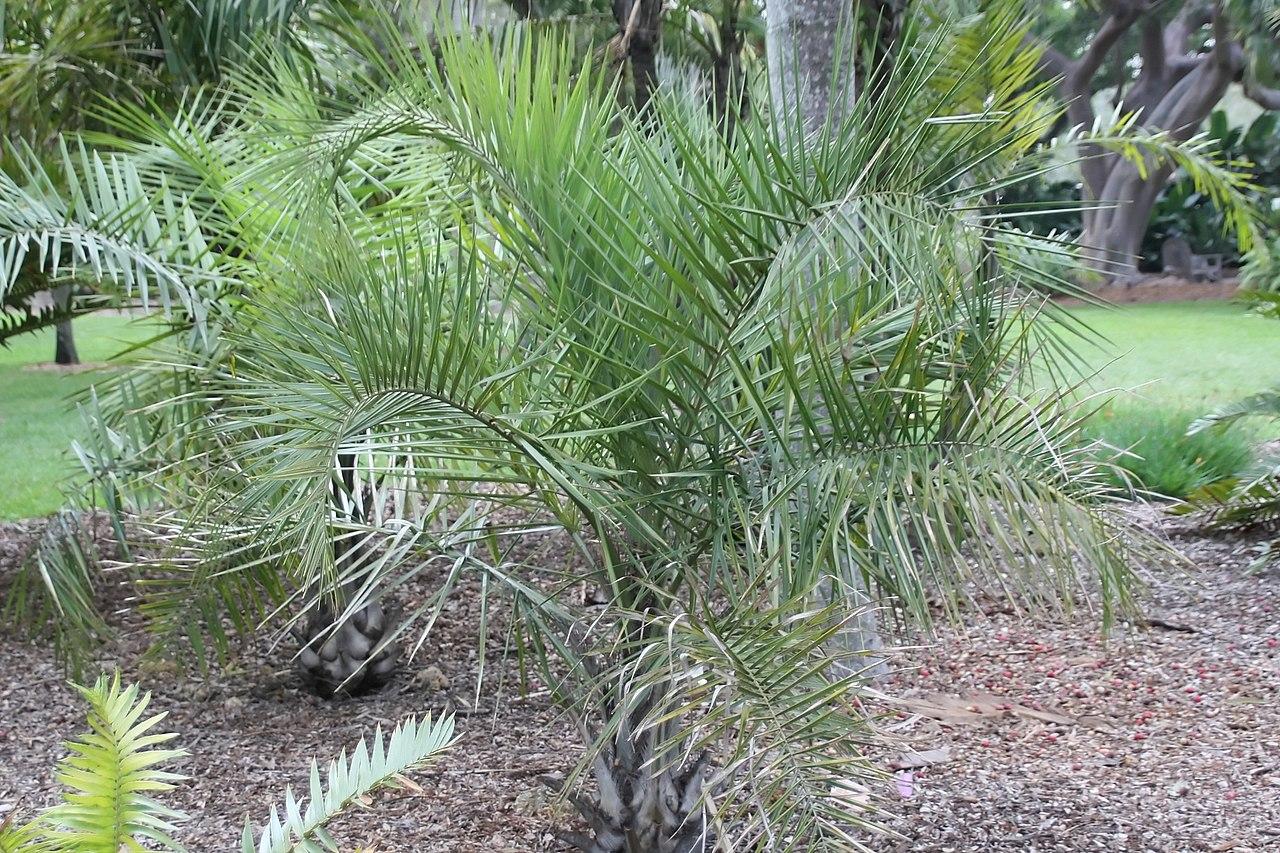 El Syagrus coronata es una palmera unicaule