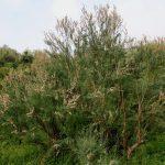 El taray es un arbusto mediano