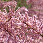 El taray en arbusto muy florífero