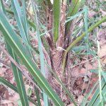 El tronco de la Parajubaea es grueso