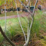 El salix udensis es un árbol caducifolio