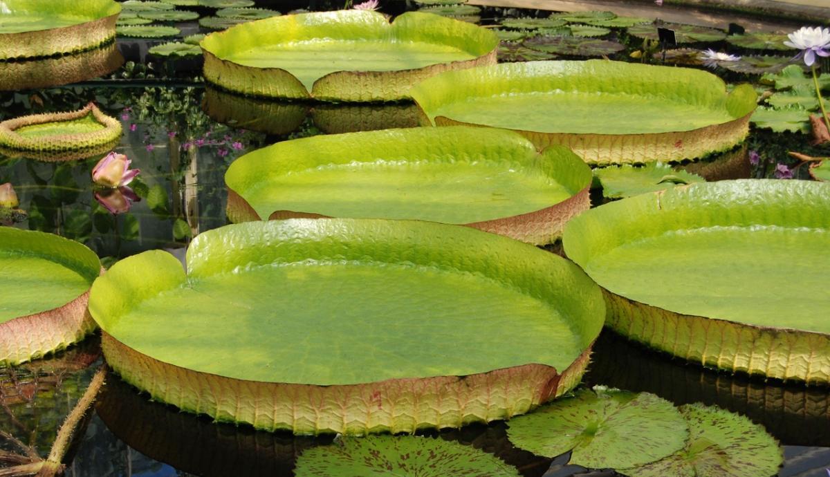 La victoria regia es una planta del amazonas