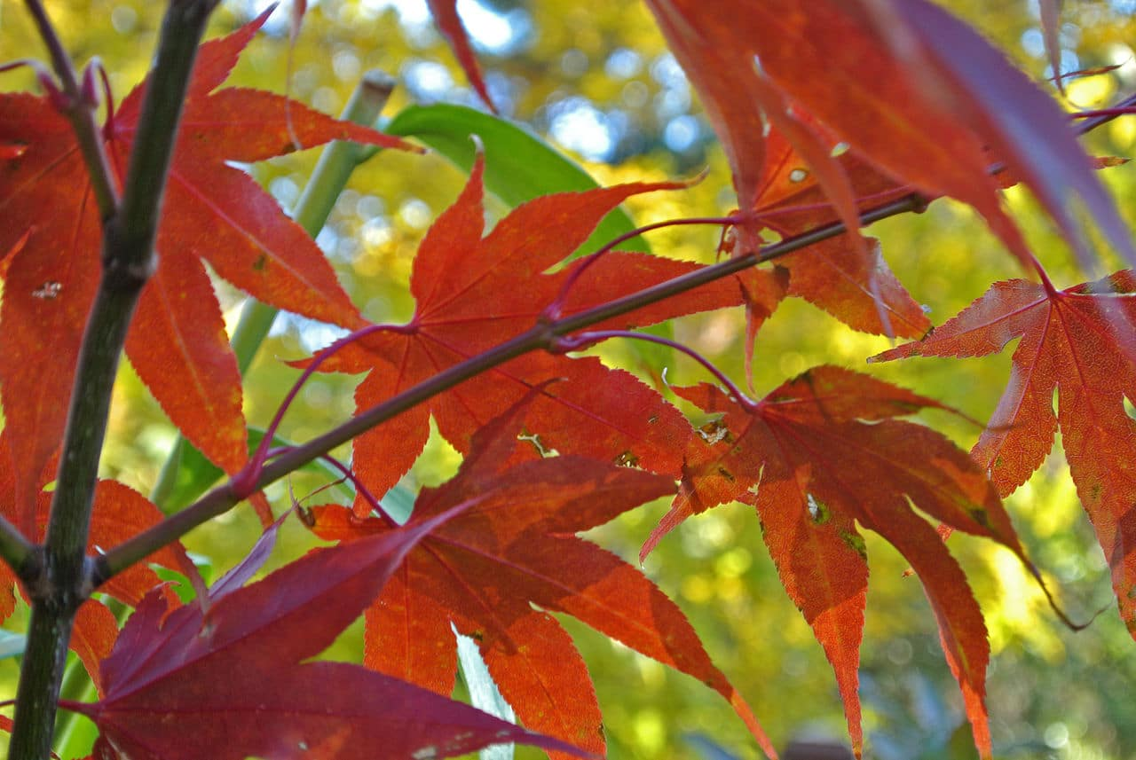 El Acer palmatum 'Osakazuki' tiene las hojas rojas
