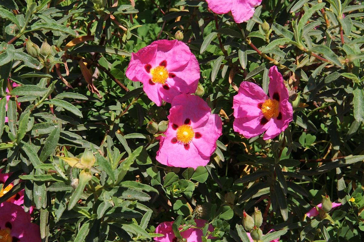 El Cistus purpureus es un arbusto perenne de flores rosas