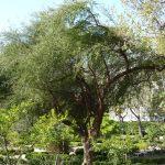 El Schinus es un árbol o arbusto grande