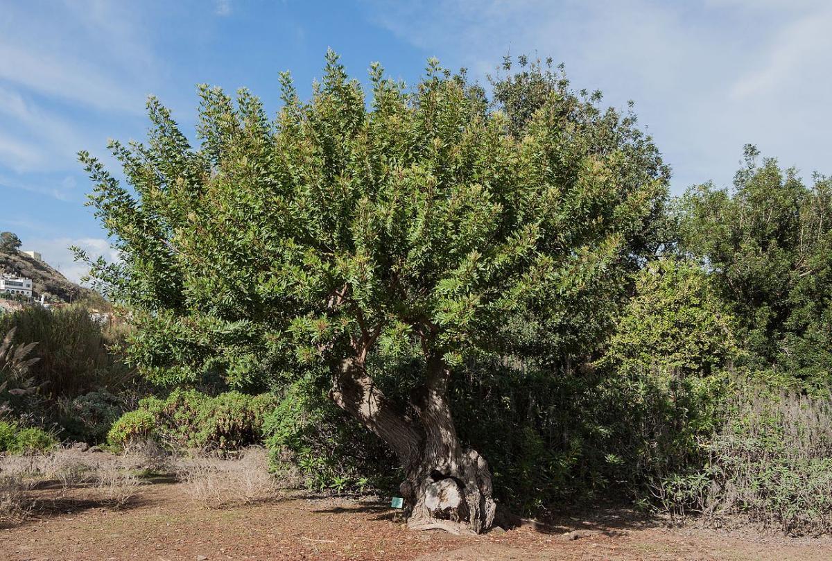 El Schinus es una planta muy cultivada