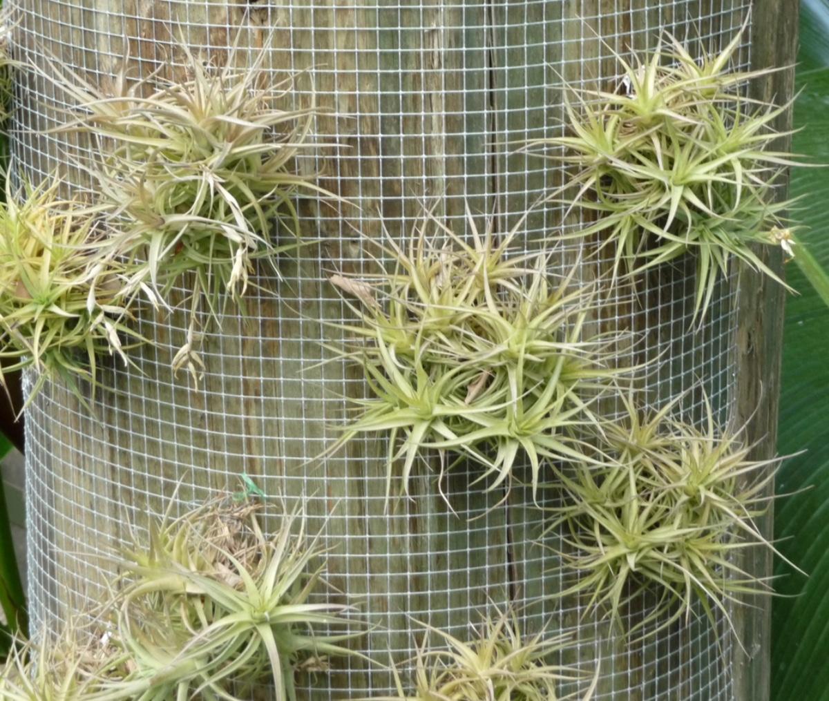 La Tillandsia bergeri es una bromelia epífita