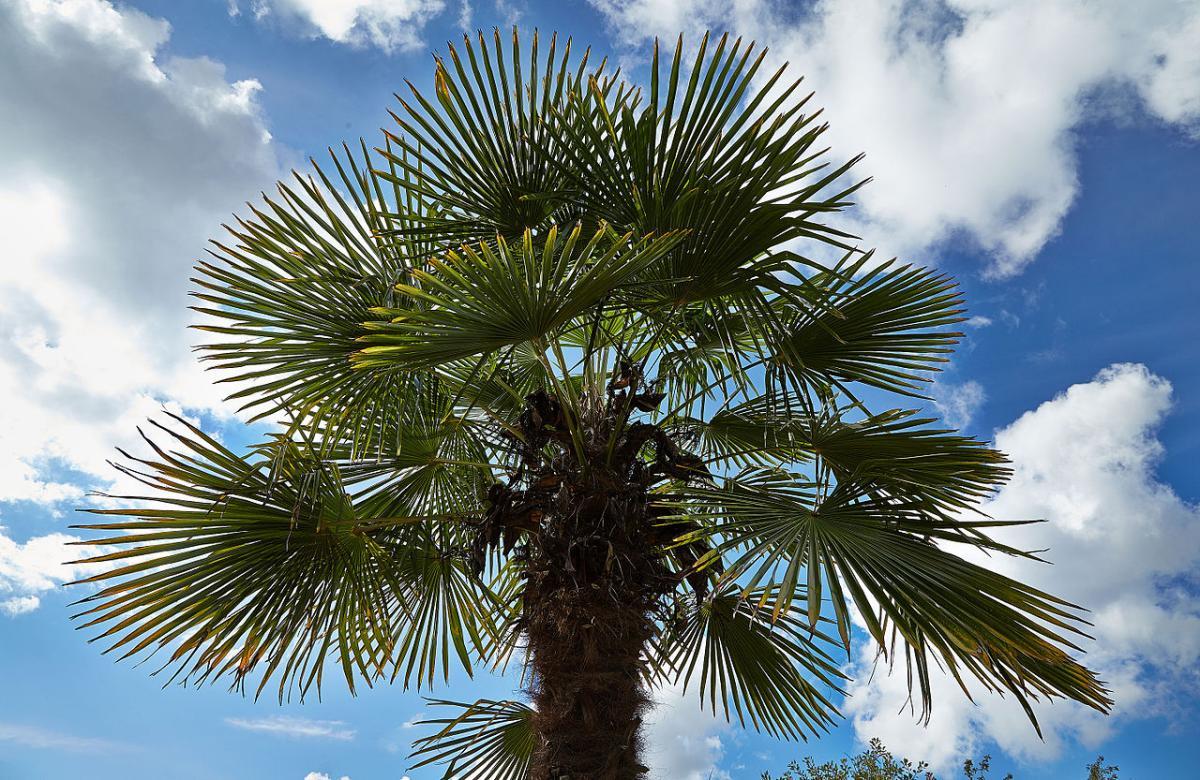 El palmito elevado es una palmera que resiste el frío invierno