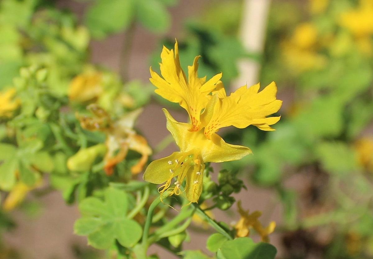 La flor del canario es una trepadora pequeña