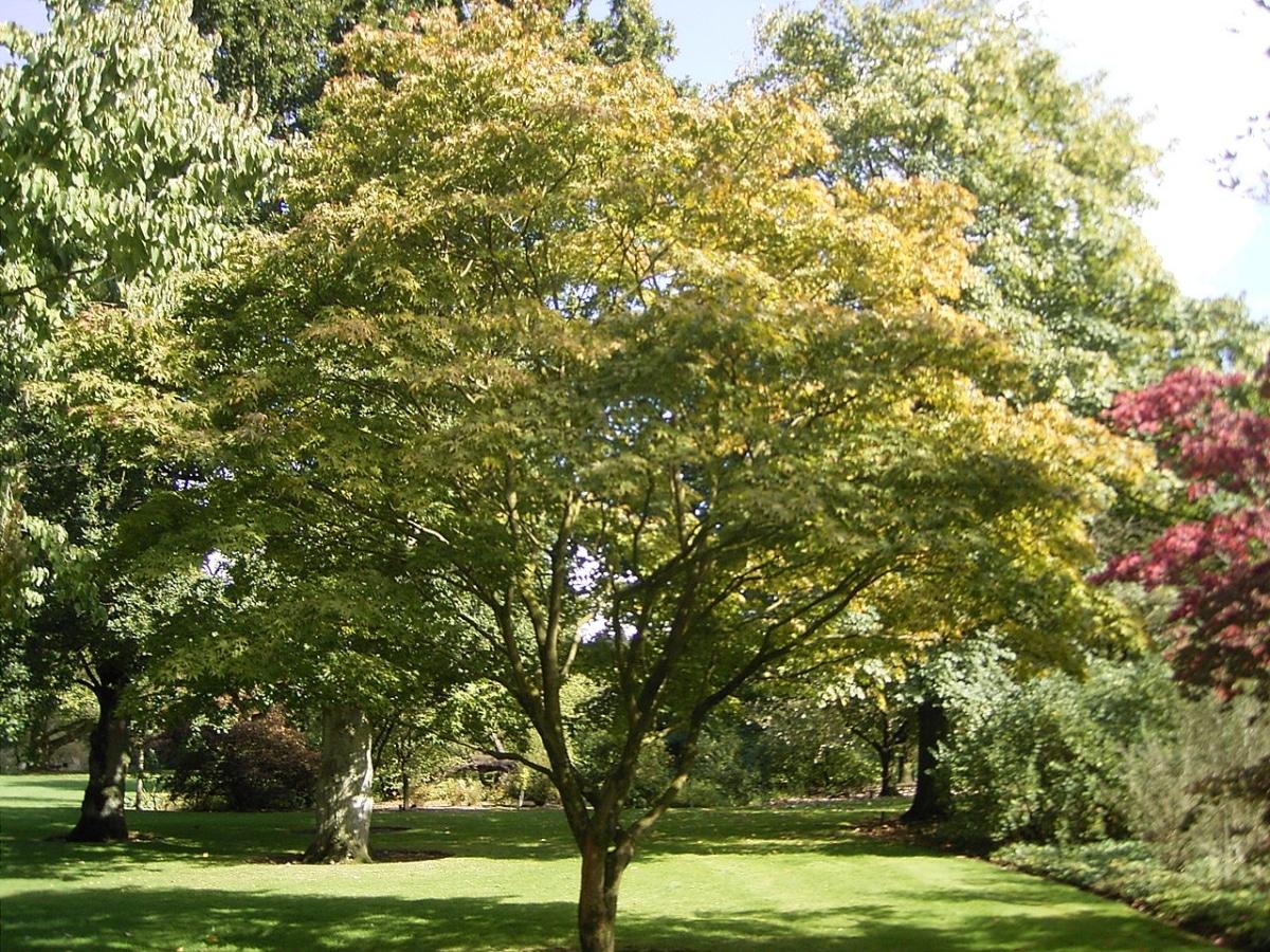 El Acer palmatum Osakazuki es un arbolito