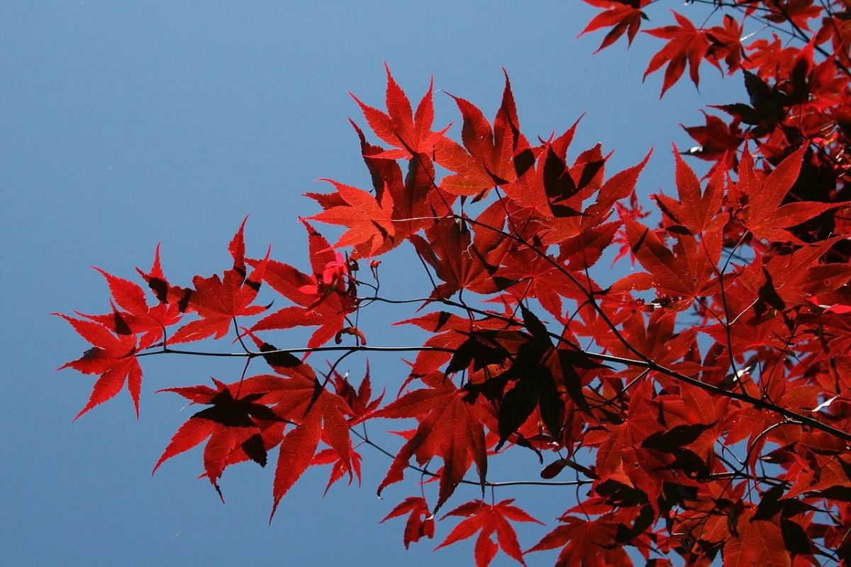 El Acer palmatum Osakazuki es una variedad de arce japonés roja