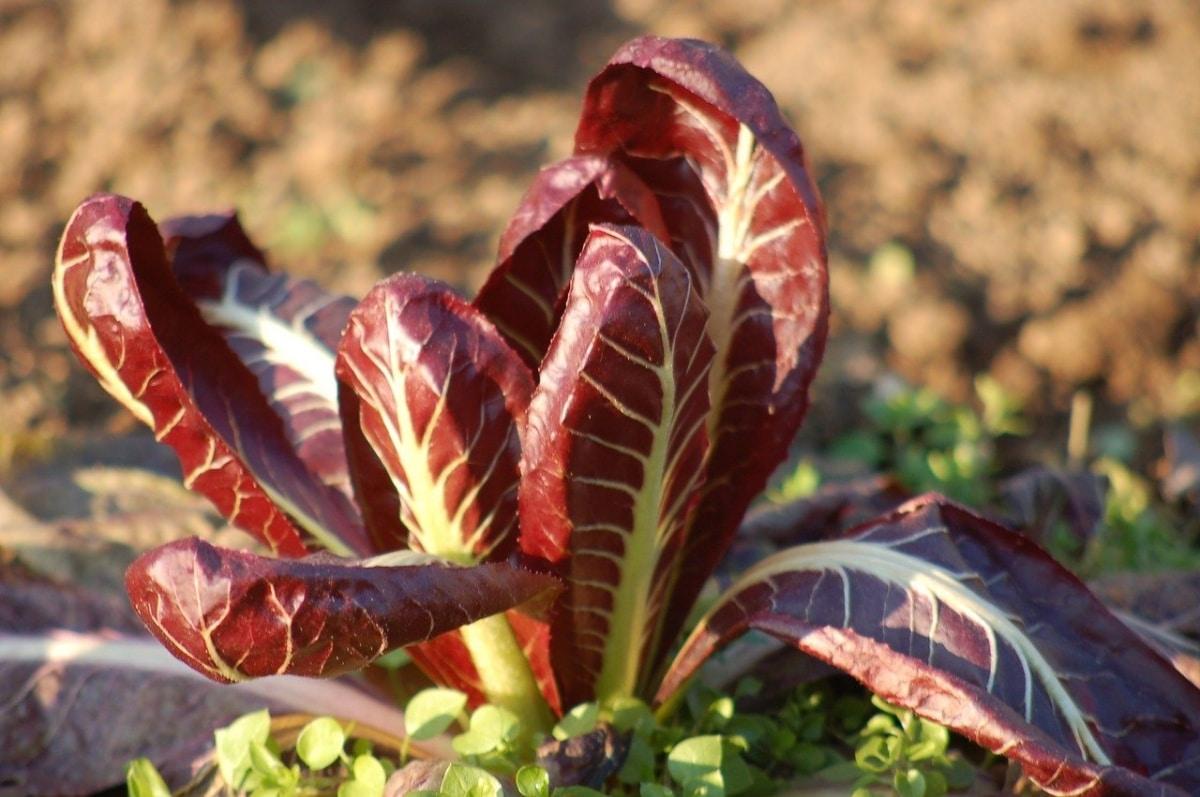 La achicoria roja es una planta comestible
