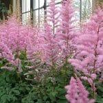 El astilbe es una planta de semisombra