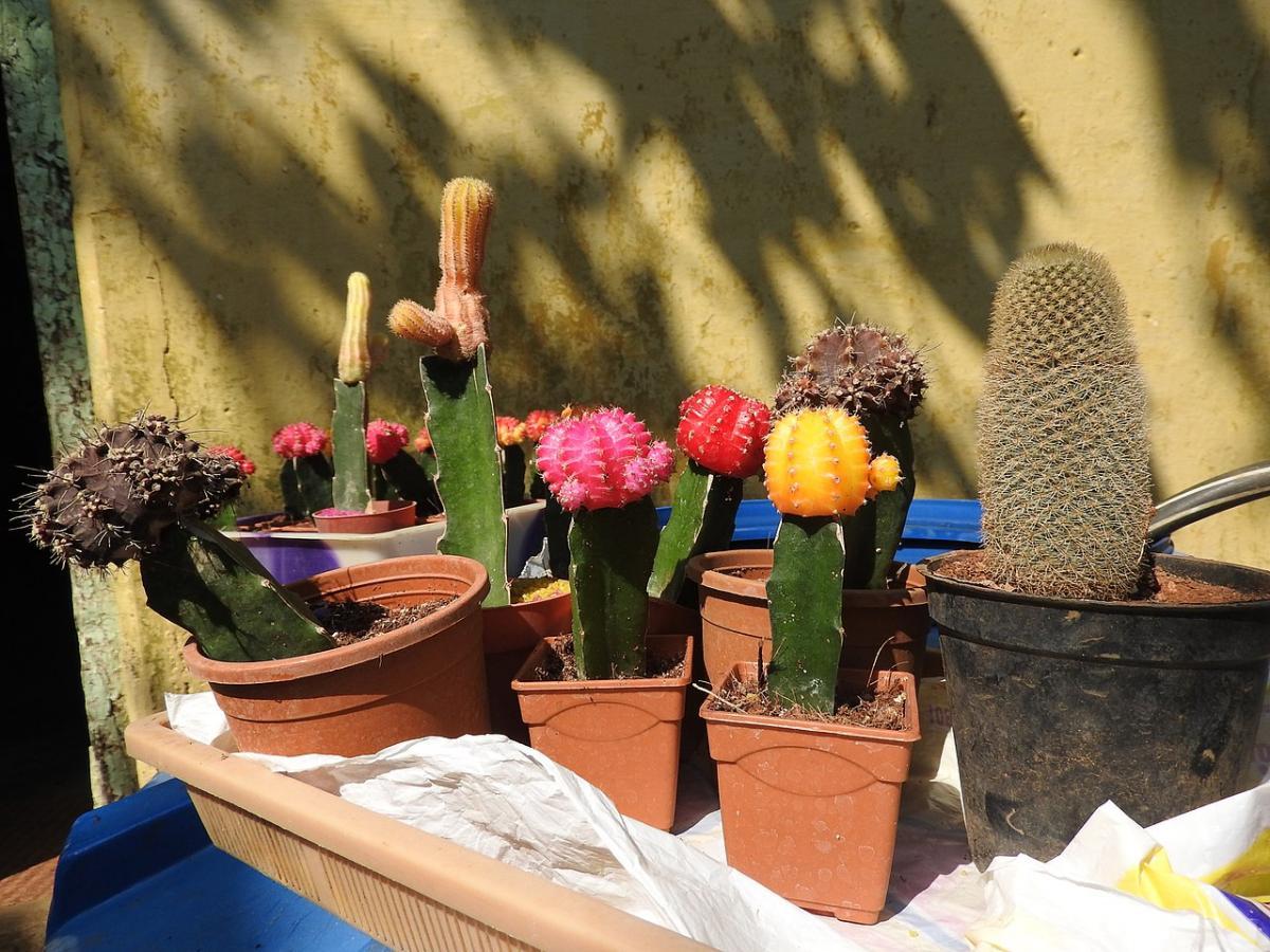 Los cactus injertados son de semisombra