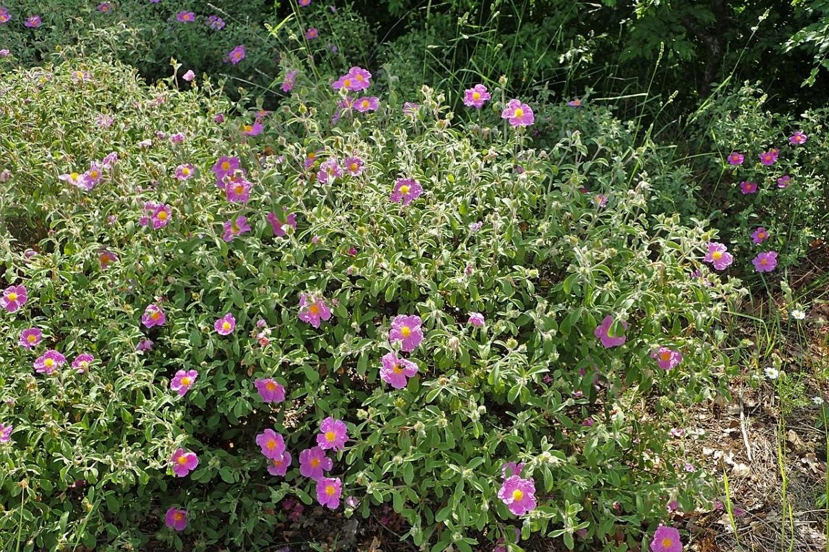El Cistus creticus da flores rosas